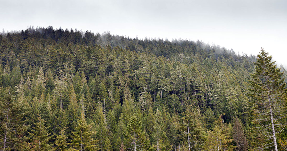 Endangered forest on Horne Mountain, above Cathedral Grove (photo provided by Ancient Forest Alliance)